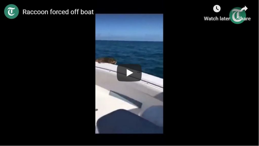 Raccoon kicked off boat 20 miles from shore…